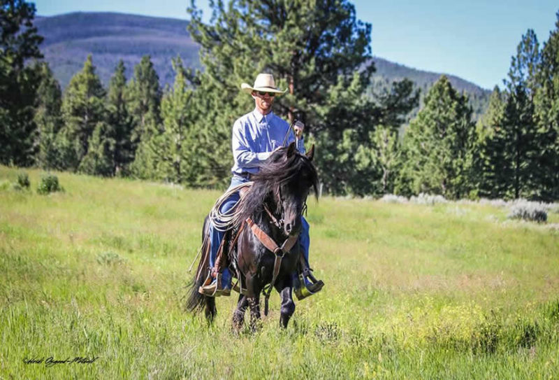 Lippitt Morgan Stallion
