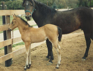 Starbuck in April 1988 with his dam A Little Night Magic, by Marvelous Ideal